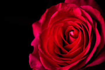 lush bright pink rose closeup on dark background