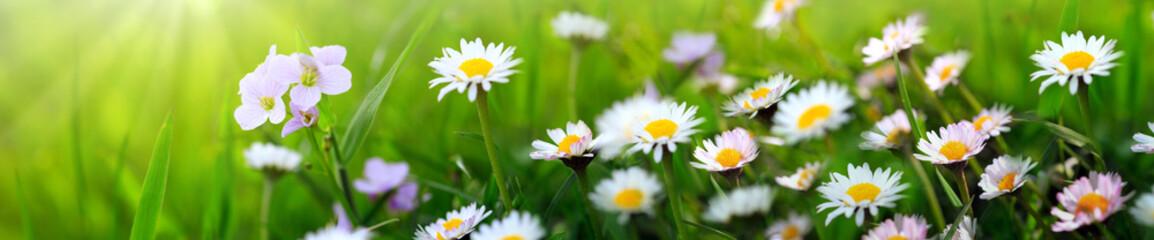 Photo sur Plexiglas Marguerites Spring flowers background.
