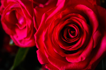 lush bright pink roses closeup on dark background