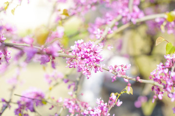 tree branches blooming with pink flowers