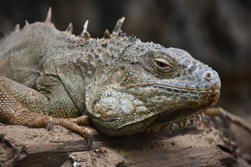 Close up of a Iguana