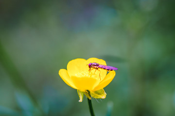 Wasp on the flower during spring in Pairs park, France, europe.Wasps need key resources such as pollen and nectar from a variety of flowers. True wasps have stingers that they use to capture insects