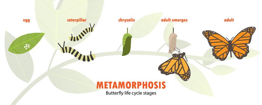 butterfly life cycle metamorphosis