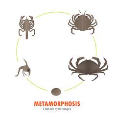 Crab life cycle metamorphosis