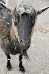 big black goat
