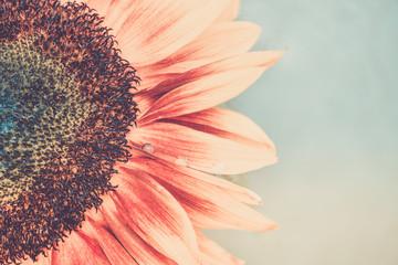 Macro shot of blooming sunflower