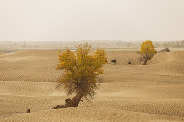 trees in the chinese desert, taklamakan