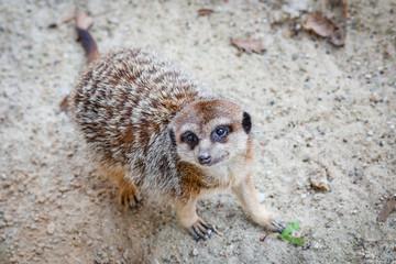 The meerkat or suricate