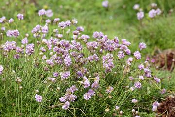Portuguese coast wild flowers