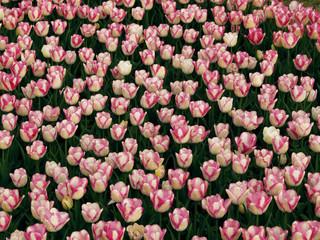 tulipe, fleur, printemps, rouge, tulipe, nature, fleur, vert, jardin, fleures, bouquet, fleurir, floral, plante, beauté, rose, flore, isolé, blanc, couleur, coloré, été, feuille, jaune