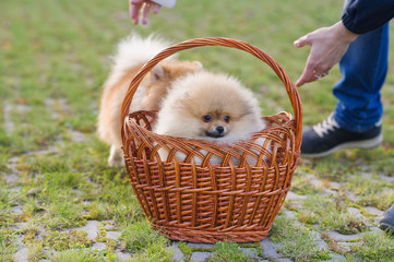 Pomeranian spitz dogs. Cute puppy. The woman is going to take the puppy in her arms.
