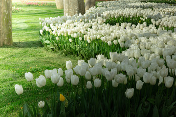 White tulips in the flower garden