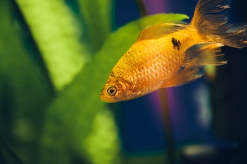 The barbus floats in the home aquarium close up. Beautiful aquarium goldfish.