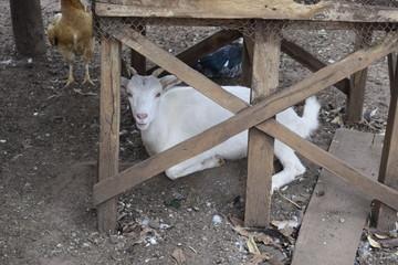Cabra branca deitada escondida
