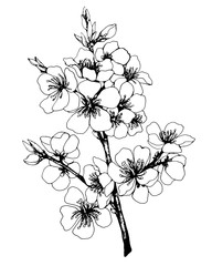 Vector, graphic of sakura with flowers. Apple-tree flowers. Japan cherry blossom. Black and white outline illustration.