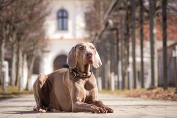 weimaraner dog in the city.