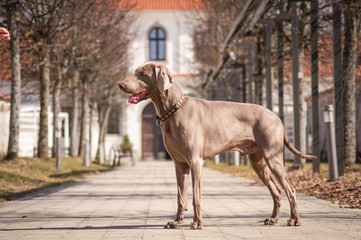 weimaraner dog in the city.