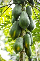 fresh papaya tree with bunch of fruits