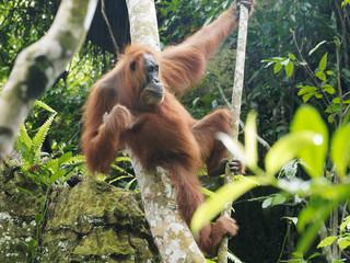 Freier weiblicher Orang Utan im Dschungel auf Sumatra Fotomurales