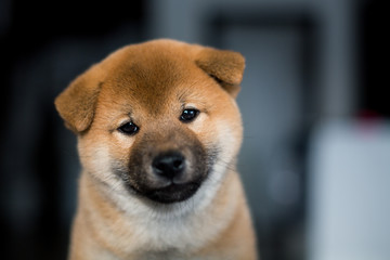 Portrait of cute smiley Shiba Inu dog puppy on a dark background. Image of sweet japanese dog looks like a teddy bear