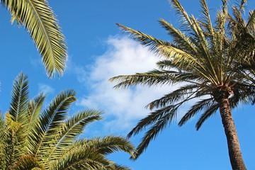 palm tree and palm leaves, blue sky