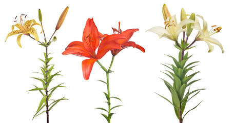isolated three lily flowers