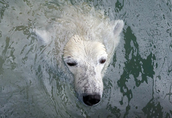 Aurora, an eight-year-old female polar bear, swims in a pool which was recently filled with water after the winter season, at the Royev Ruchey zoo in the suburb of Krasnoyarsk