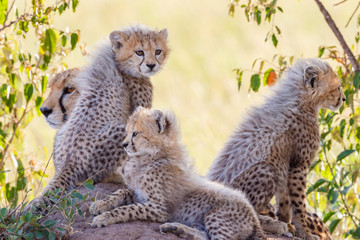 Cheetah family with young cute cubs in the shadow