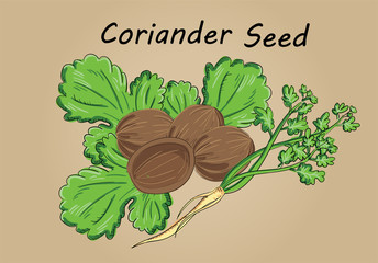 hand drawing illustration vector of coriander seed close up - each part is isolated and can arrange in the way you want