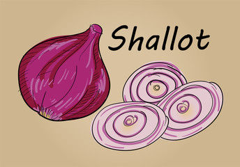 hand drawing illustration vector of shallot - each part is isolated and can arrange in the way you want