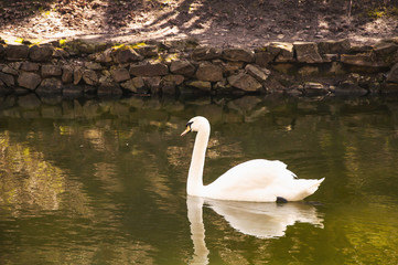 White swan floats near the lake (birds)