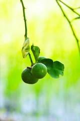 Green lemon on trees