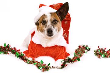 Terriermischling mit Weihnachtskostüm isoliert auf weißem Grund