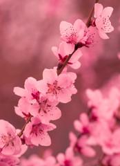 kwitnąca jabłoń