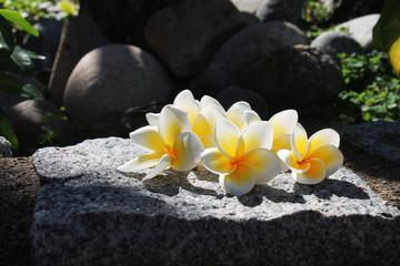 photo of a frangipani on a stone 7