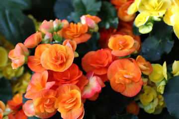 beautiful flowers begonia close-up view from above