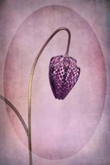 Chess flower, purple, vintage style