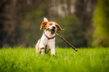 Beagle dog in a field runs with a stick