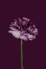 Ranunuculus against plain background, purple