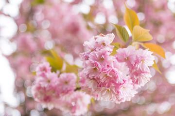 Particolare di fiore bianco rosa doppio sul ramo dell'albero di pruno fiorito
