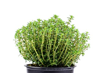 Gardening, cultivation,farming and care of aromatic plants concept: fresh seedlings of aromatic lemon thyme isolated on a white background.