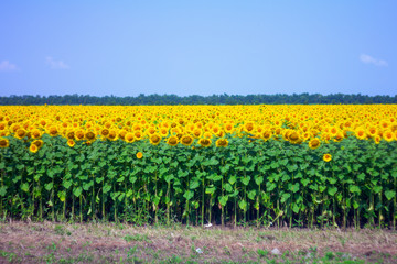 Sunflower field in the afternoon
