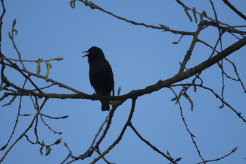 Bird silhouette on the sky background. Bird singing and sitting on a tree. Blue background. Bird: common starling