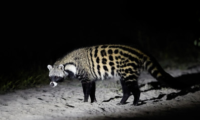 Close up African civet, Civettictis civetta, night photo of wild, largest civet, side view. Nocturnal african predator. Wildlife photography, self drive safari in Moremi national park, Botswana.