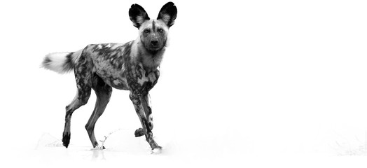 Black and white, artistic photo of  African Wild Dog, Lycaon pictus, walking in water, staring directly at camera. African wildlife photography. Moremi, Okavango delta, Botswana.