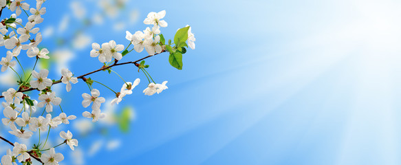 blooming branch of fruit tree in the garden against the sky