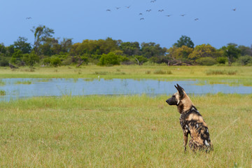 African Wild Dog, Lycaon pictus, alpha female sitting close to lake, alerted by crocodile in the water.  African wildlife photography. Safari in Moremi, Okavango delta, Botswana.