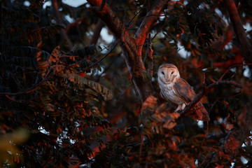 Beautiful Barn Owl, Tyto alba in the last, red rays of the sun. A wild owl staring directly at the camera lit by the red sunset. Evening photo of wild owl. Wildlife photography in Costa Rica.