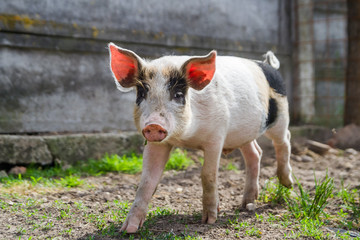 One cute and adorable piglet playing outside, free in the backyard, in a beautiful day of spring.