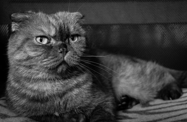 Portrait of beautiful fold cat. Cute animal. Black and white photo.